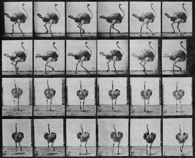 Eadweard Muybridge, Animal locomotion (Ostrich running), pl. 773 , 1887