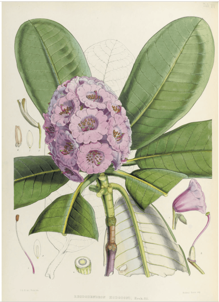 The iconic colors in art history: Shade Hooker Green colour, Joseph Dalton Hooker, The Rhododendrons of Sikkim-Himalaya