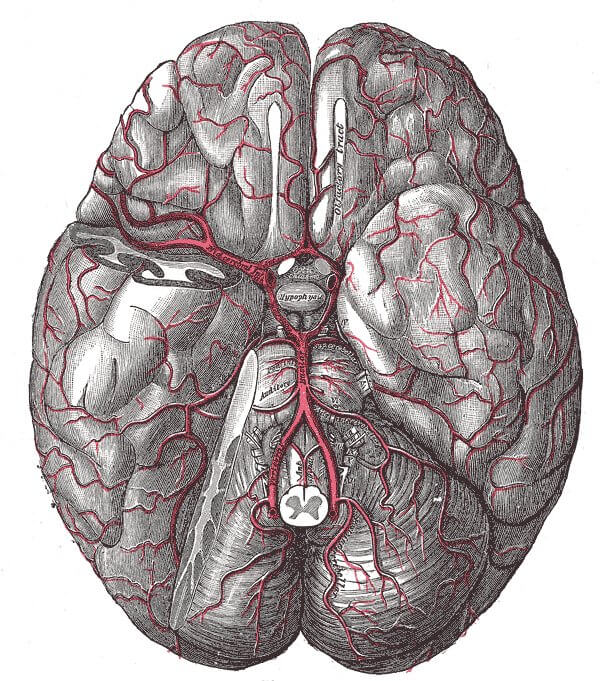 Henry Vandyke Carter, Cerebral arterial supply to the brain, 1918, from Gray's Anatomy 20th edition. Case courtesy of Dr Jeremy Jones, Radiopaedia.org.