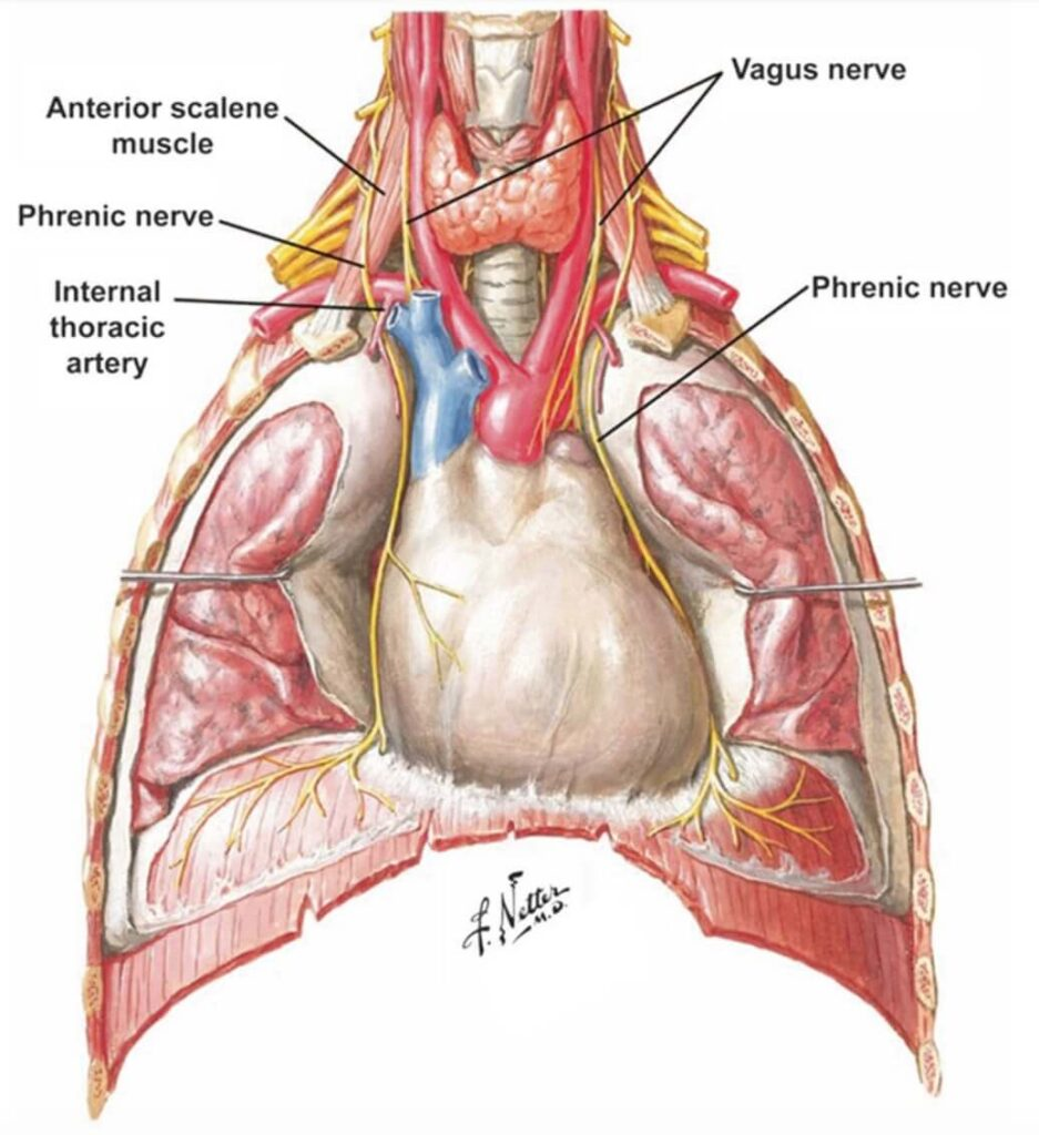 Medical illustration: Frank H. Netter, Contents of the superior and middle mediastinum, 1998.