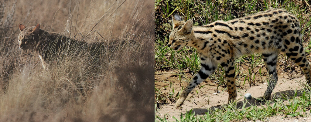 The Sacred Cats of Ancient Egypt: The African wild cat and the Serval