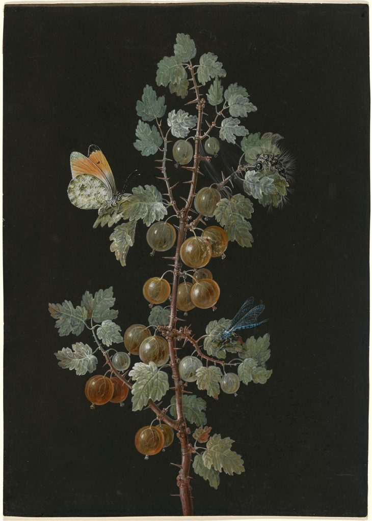 A Branch of Gooseberries with a Dragonfly, an Orange-Tip Butterfly, and a Caterpillar Barbara Regina Dietzsch, A Branch of Gooseberries with a Dragonfly, an Orange-Tip Butterfly, and a Caterpillar,
