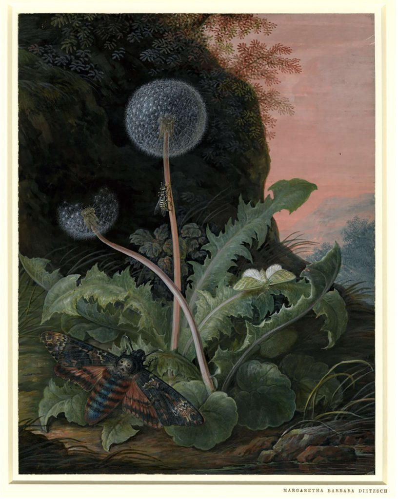 Margaretha Barbara Dietzsch, Dandelion with a moth and a smaller green moth or butterfly, in a landscape with a bank and pink sky, between 1741-1784, British Museum, London, England, UK.