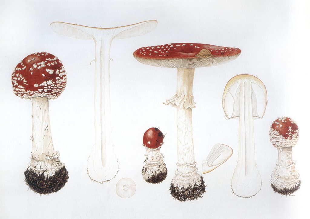 Pauline Dean, Fly Agaric: Amanita muscaria, 20th century, Shirley Sherwood Collection. A New Flowering: 1000 Years of Botanical Art, Shirley Sherwood.