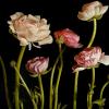 Mia Tarney, Pink Ranunculus, 2006, oil on linen, Artist's website.