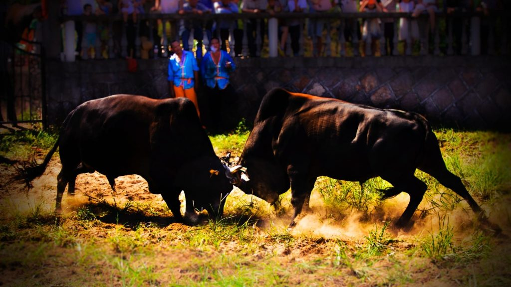 two bull fighting, close-up colorful photo